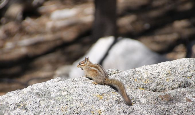 A chipmunk warming up under the spring sun on a rock